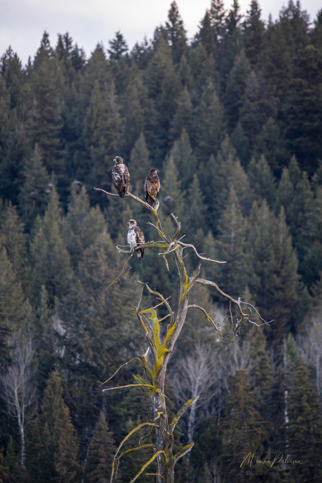 Three in the Tree - Monika Paterson