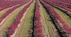 Blueberry Fields in the Fall - Nancy Cunningham