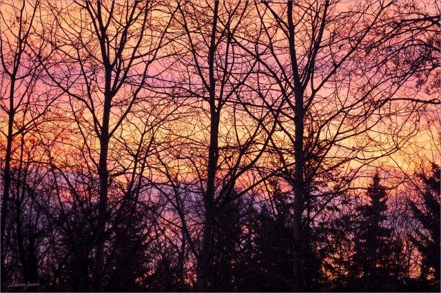 Aspen Silhouettes at Sunset - © Sharon Jensen