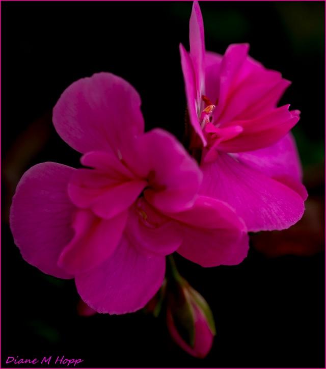 Diane Hopp - Flaming Geranium