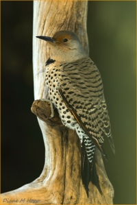 Diane Hopp - Red-shafted Northern Flicker