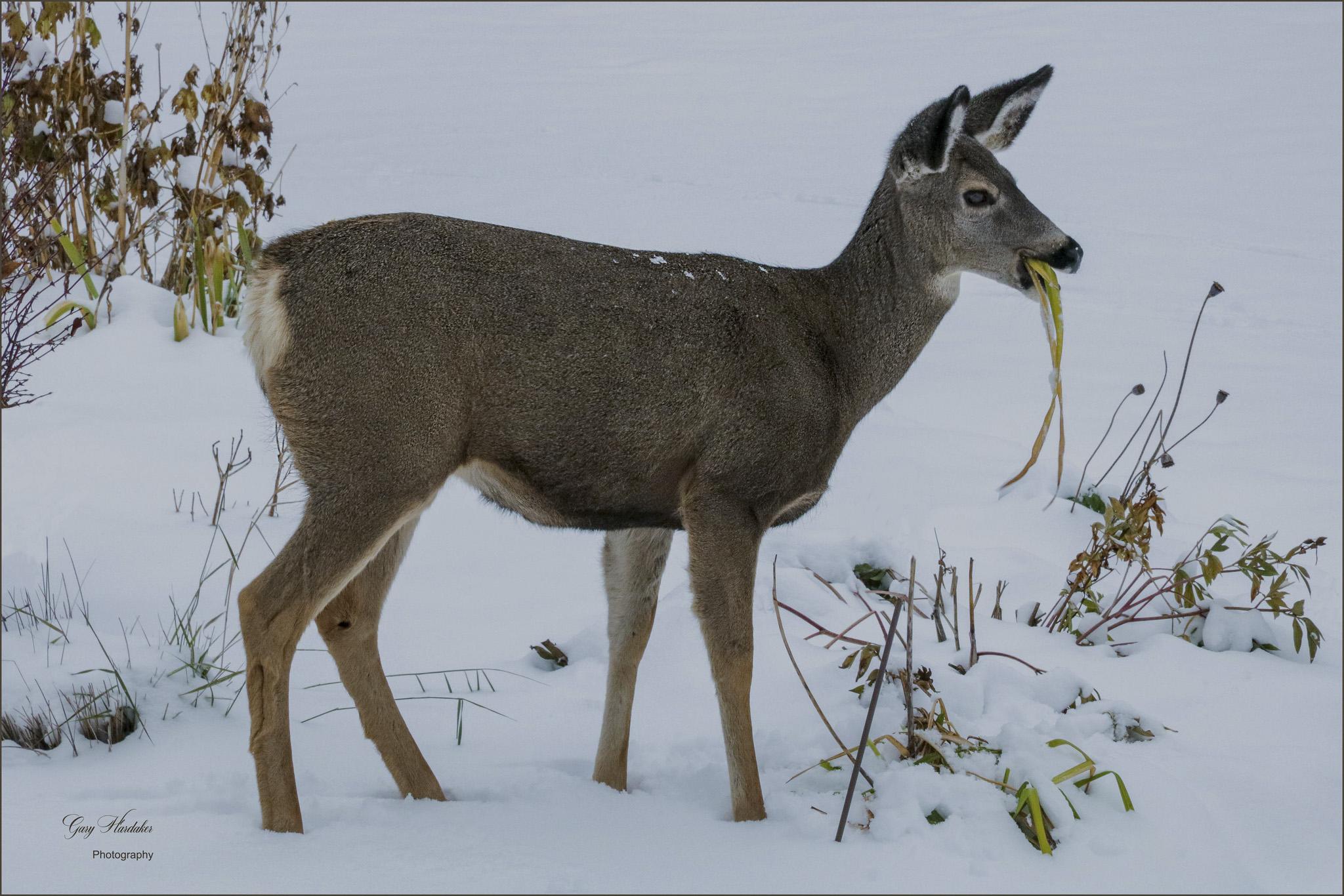 Gary Hardaker-Deer enjoying a Lily lunch