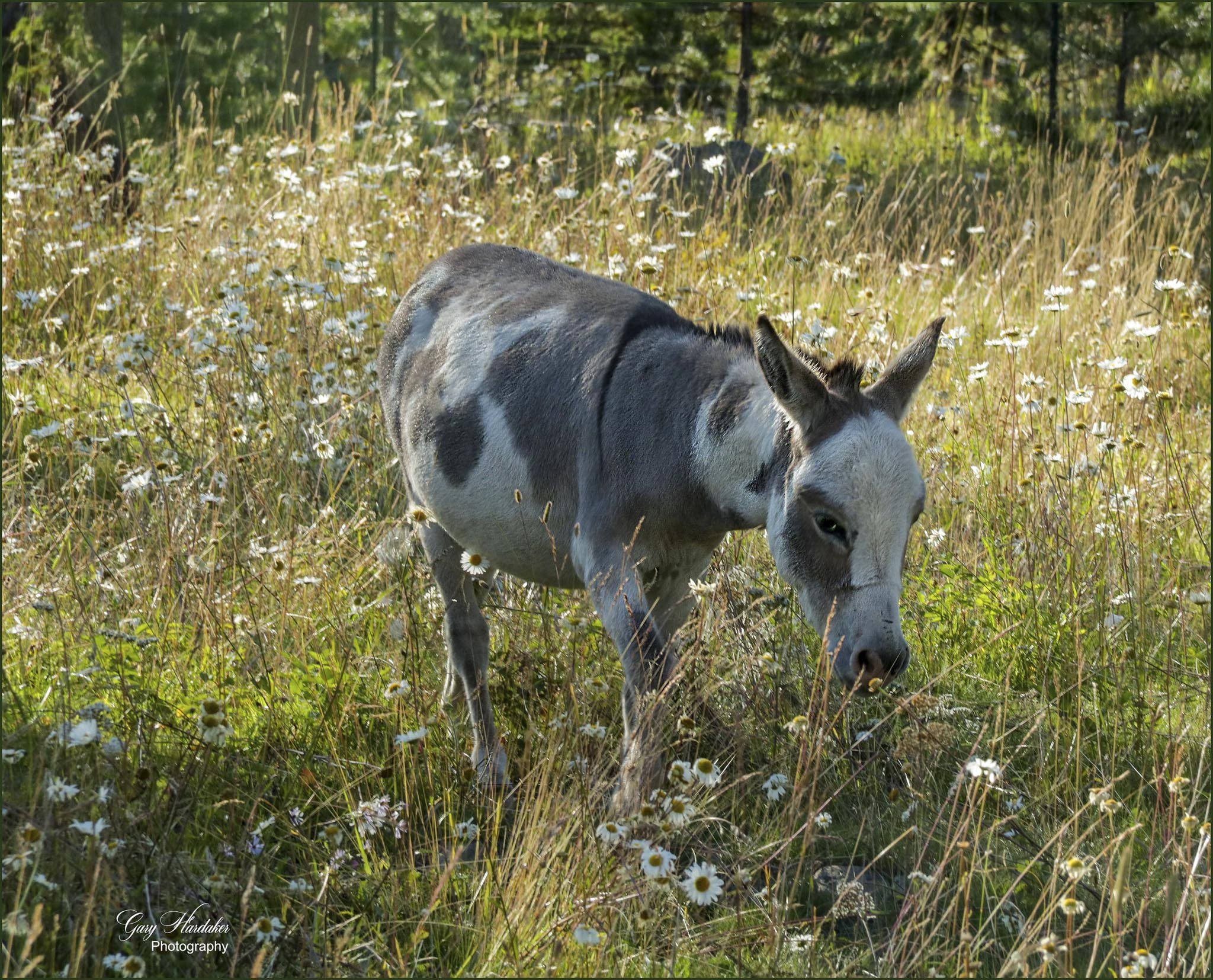 Gary Hardaker - Grazing in a Field of Daisies