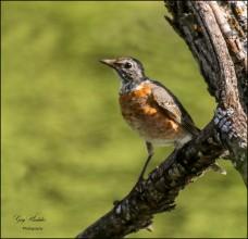 Gary Hardaker- Orange Speckled Songbird