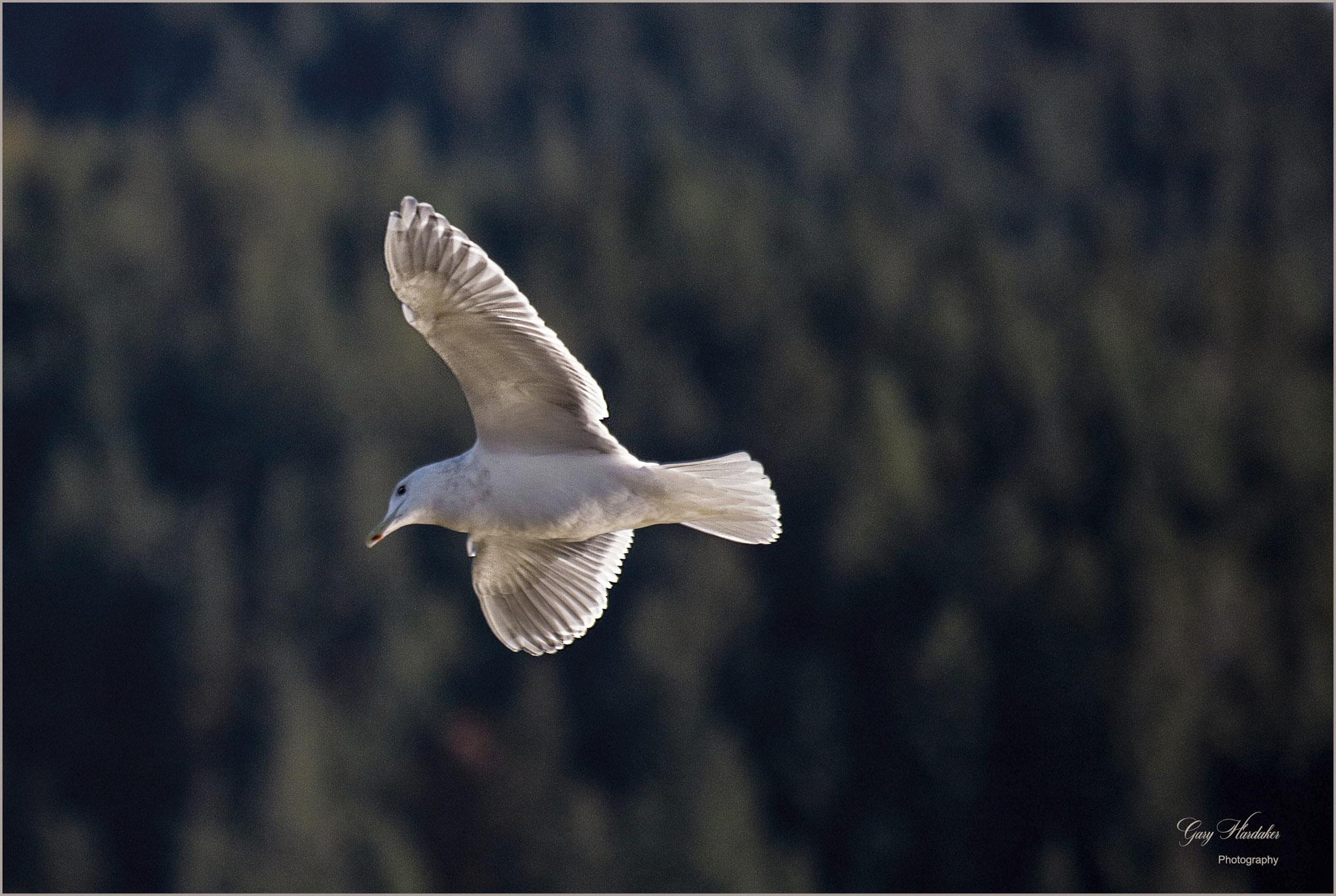 Gary Hardaker- Seagull above Harrison River