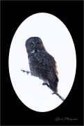 Gloria Melnychuk - Great Grey Owl - Cariboo November 2020