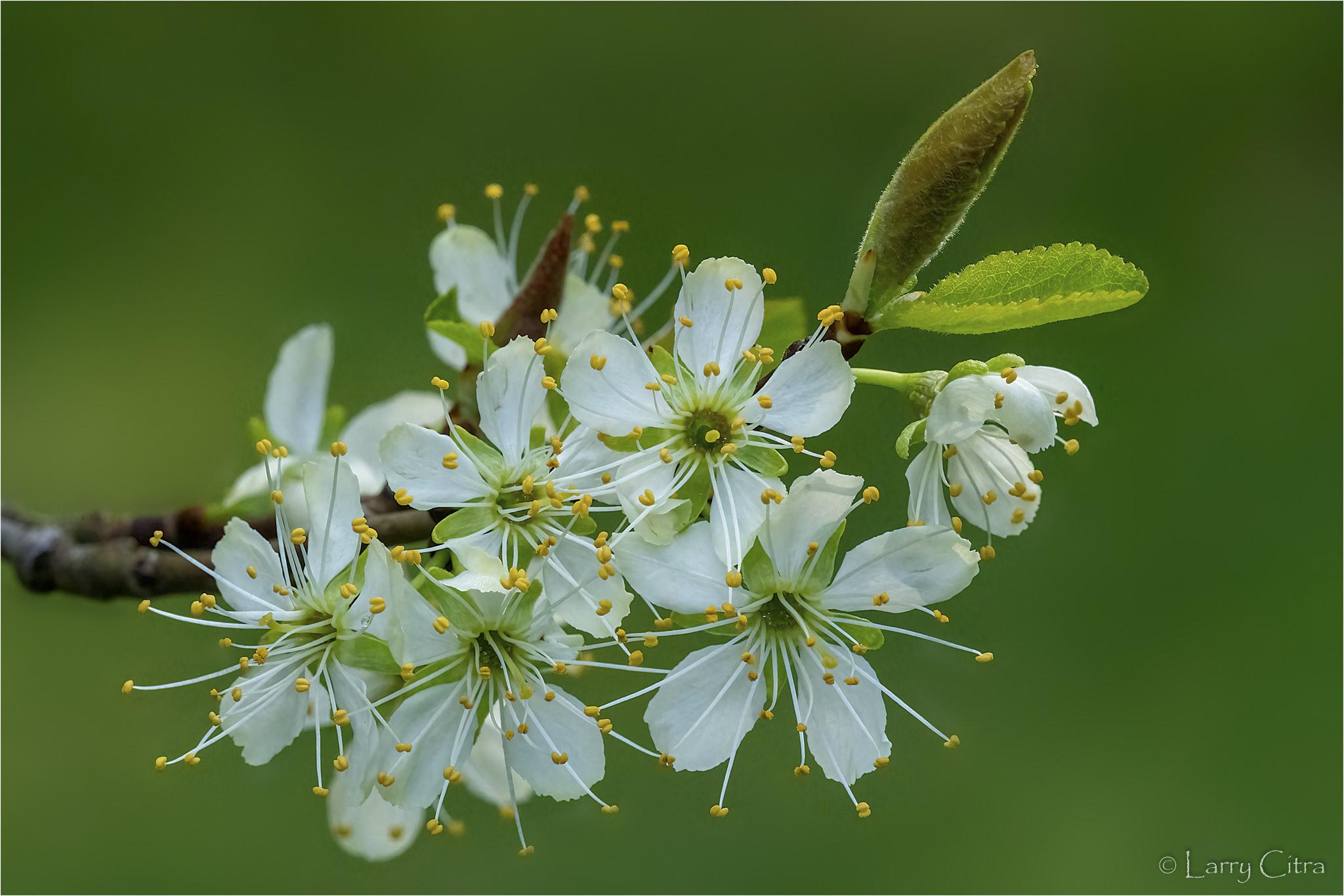 Larry Citra © Apple Blossoms