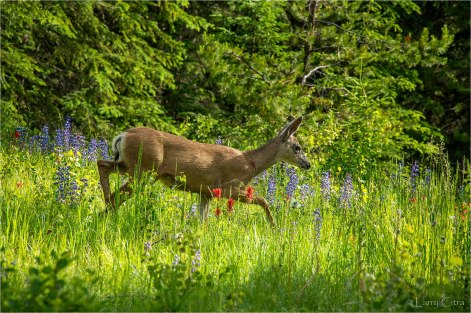 Larry Citra © Doe Mule Deer with Lupines & Indian Paintbrush