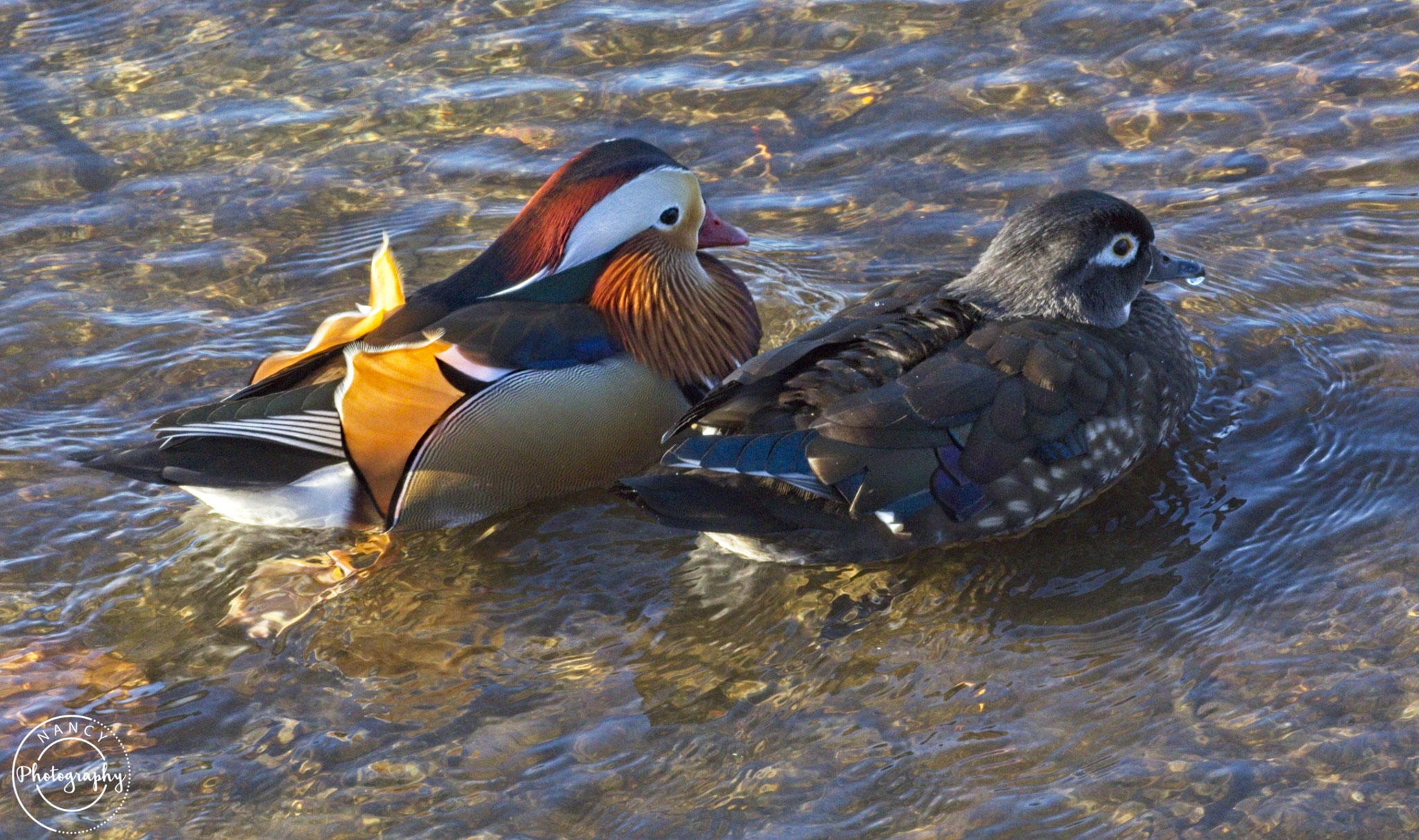Nancy Cunningham mandarin duck and his sweetie
