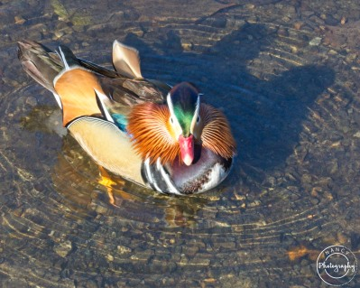 Nancy Cunningham mandarin duck