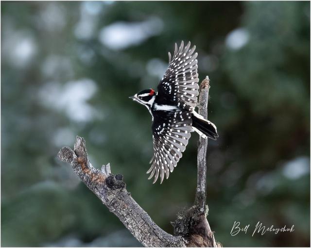 Downy Take-off © Bill Melnychuk