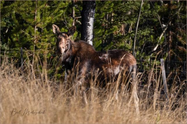 Moose © Bill Melnychuk