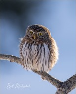 Northern Pygmy-Owl © Bill Melnychuk ~ Cariboo December 2020