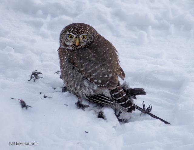 Northern Pygmy-Owl © Bill Melnychuk