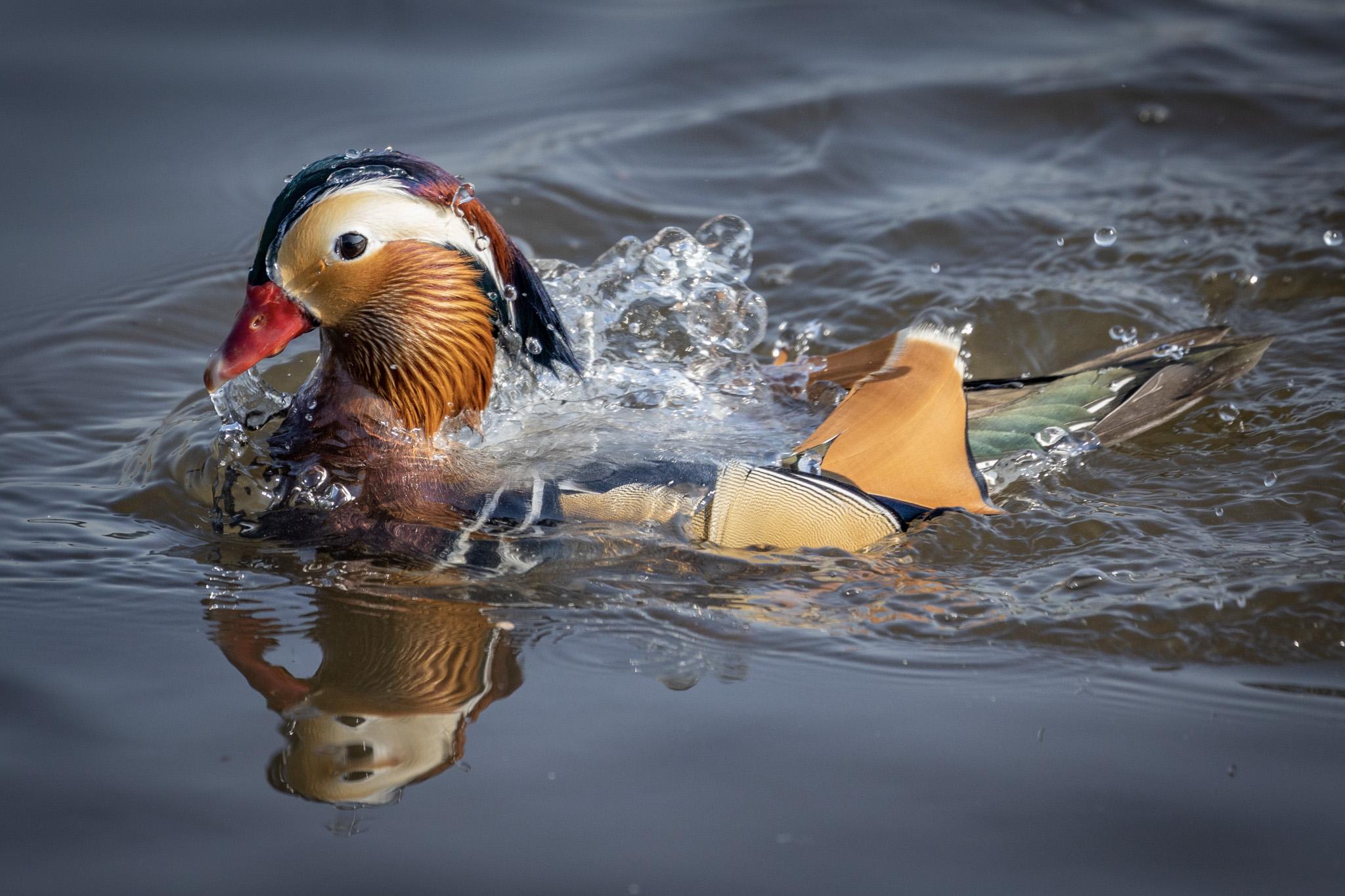 DonnaMarshall_Mandarin Duck_SplishSplash_9724