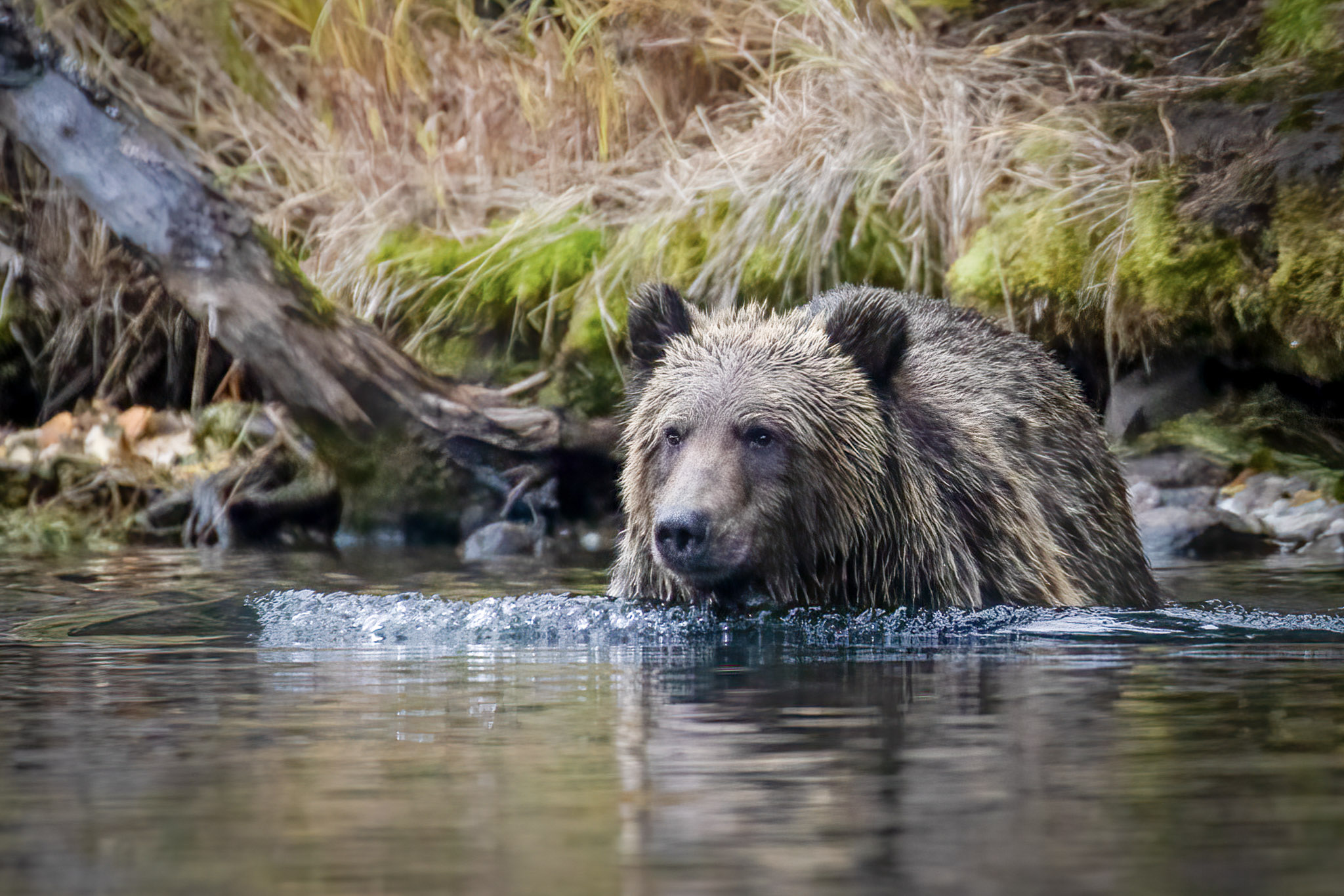 DonnaMarshall_Wildlife_Grizzly__Alert_5207