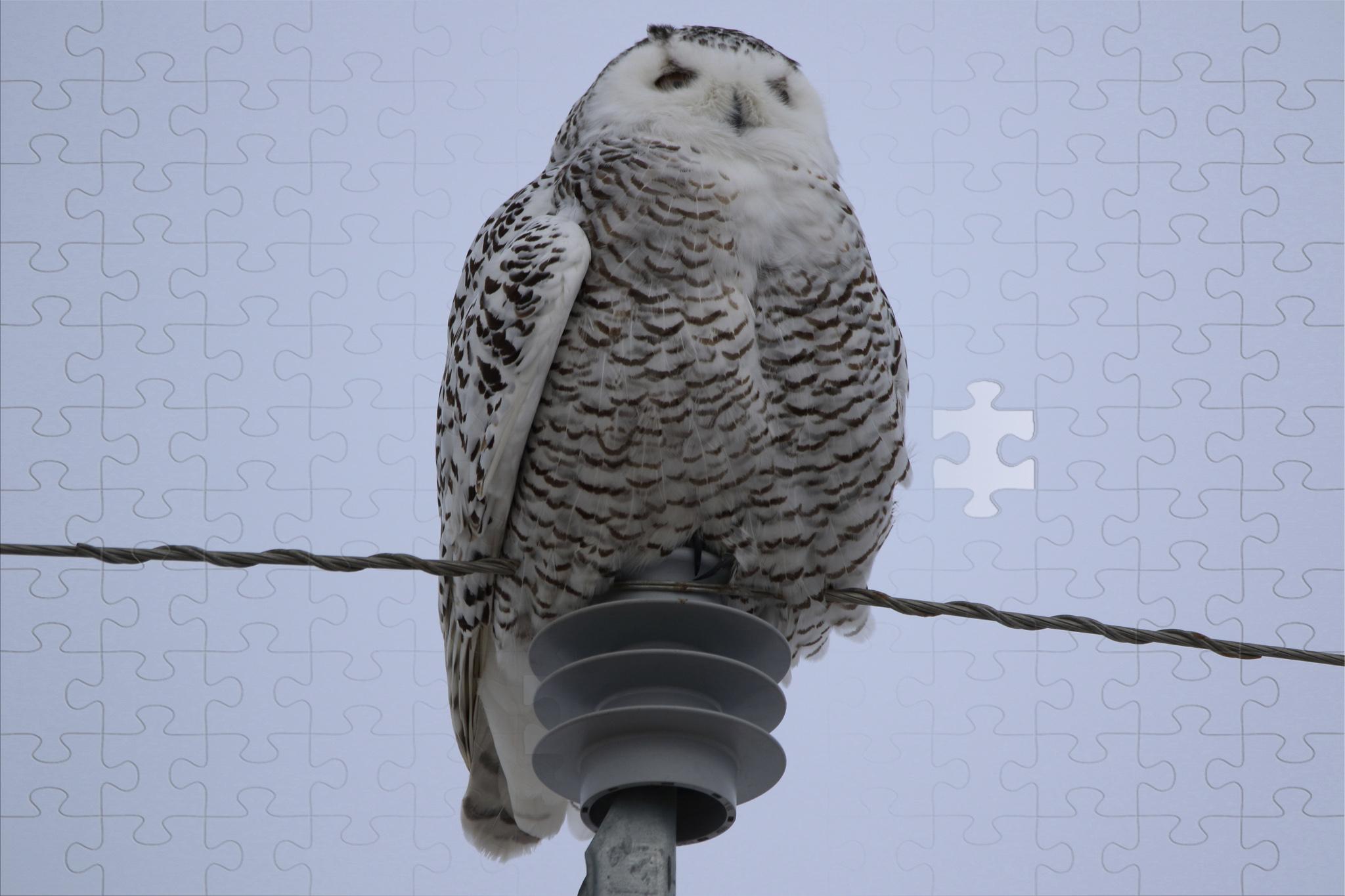 Doug Boyce  -  Puzzled Snowy Owl @ Wheatland County