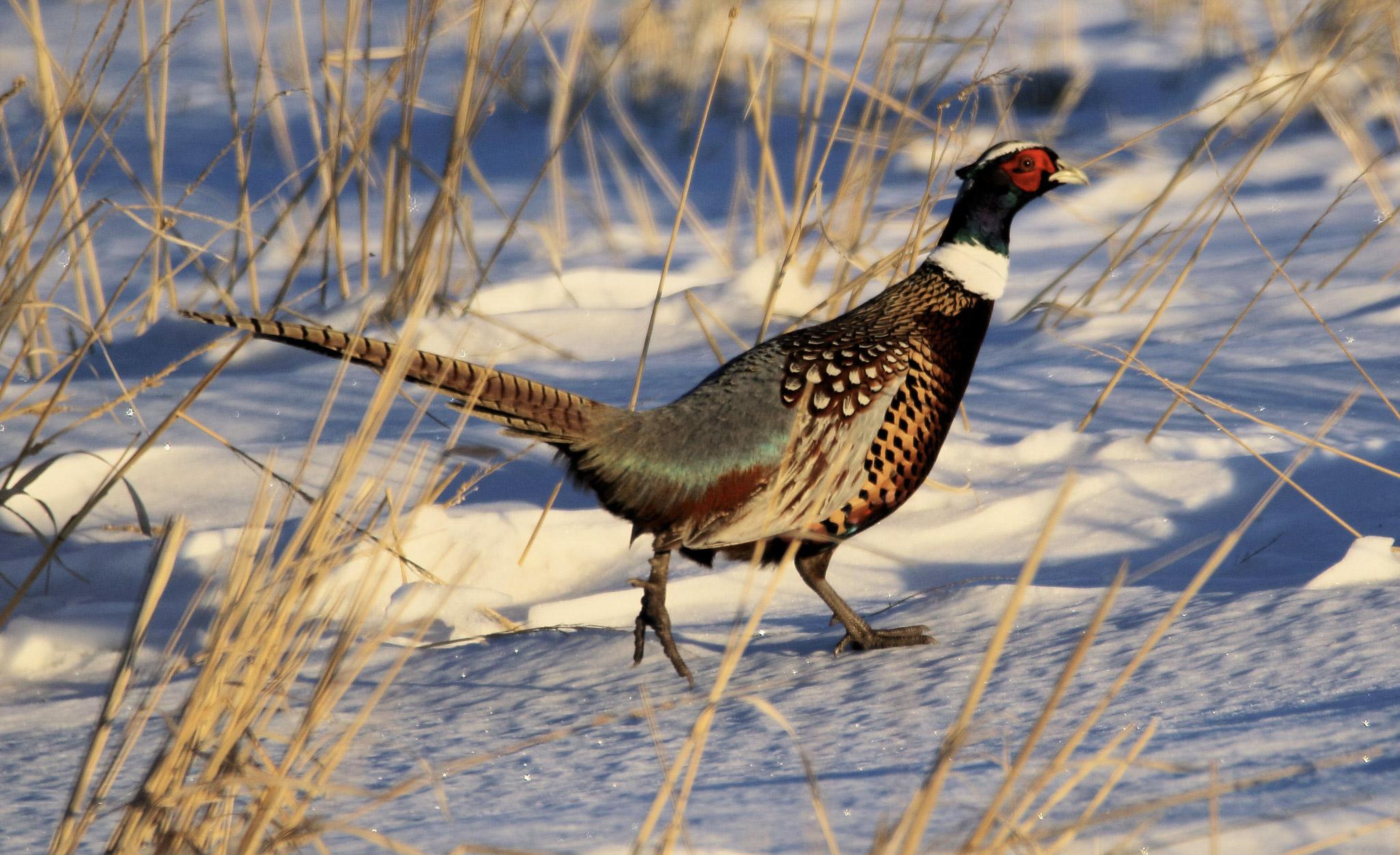 Doug Boyce  -  Ring Necked Pheasant @ Wheatland County