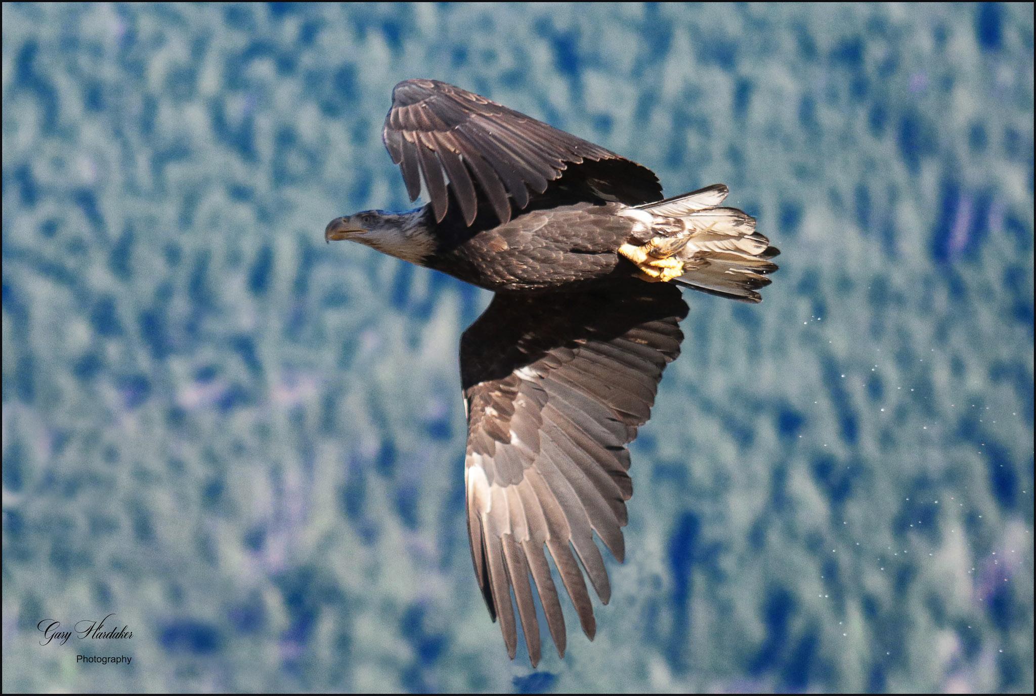 Gary Hardaker-Eagle on take-off (Harrison River)