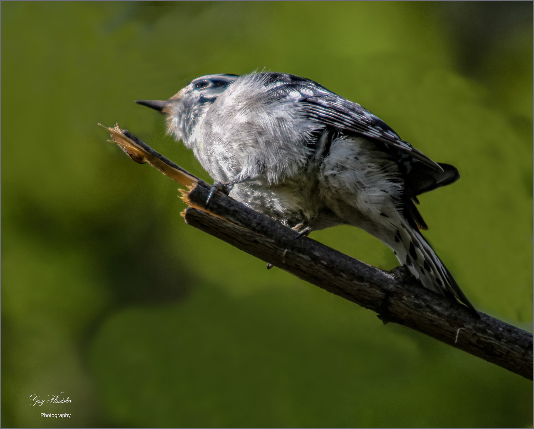 Gary Hardaker-Hairy Woodpecker (female)