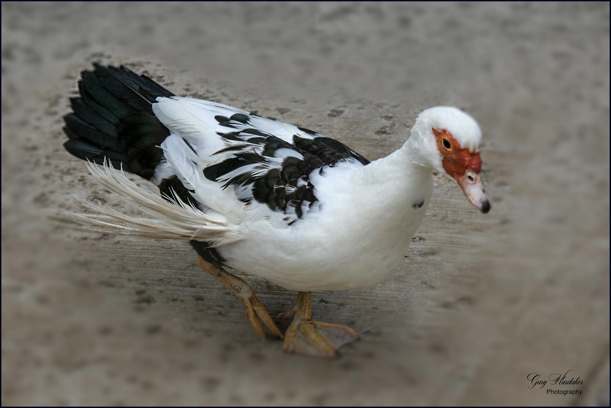 Gary Hardaker- Muscovy Duck (Oahu)