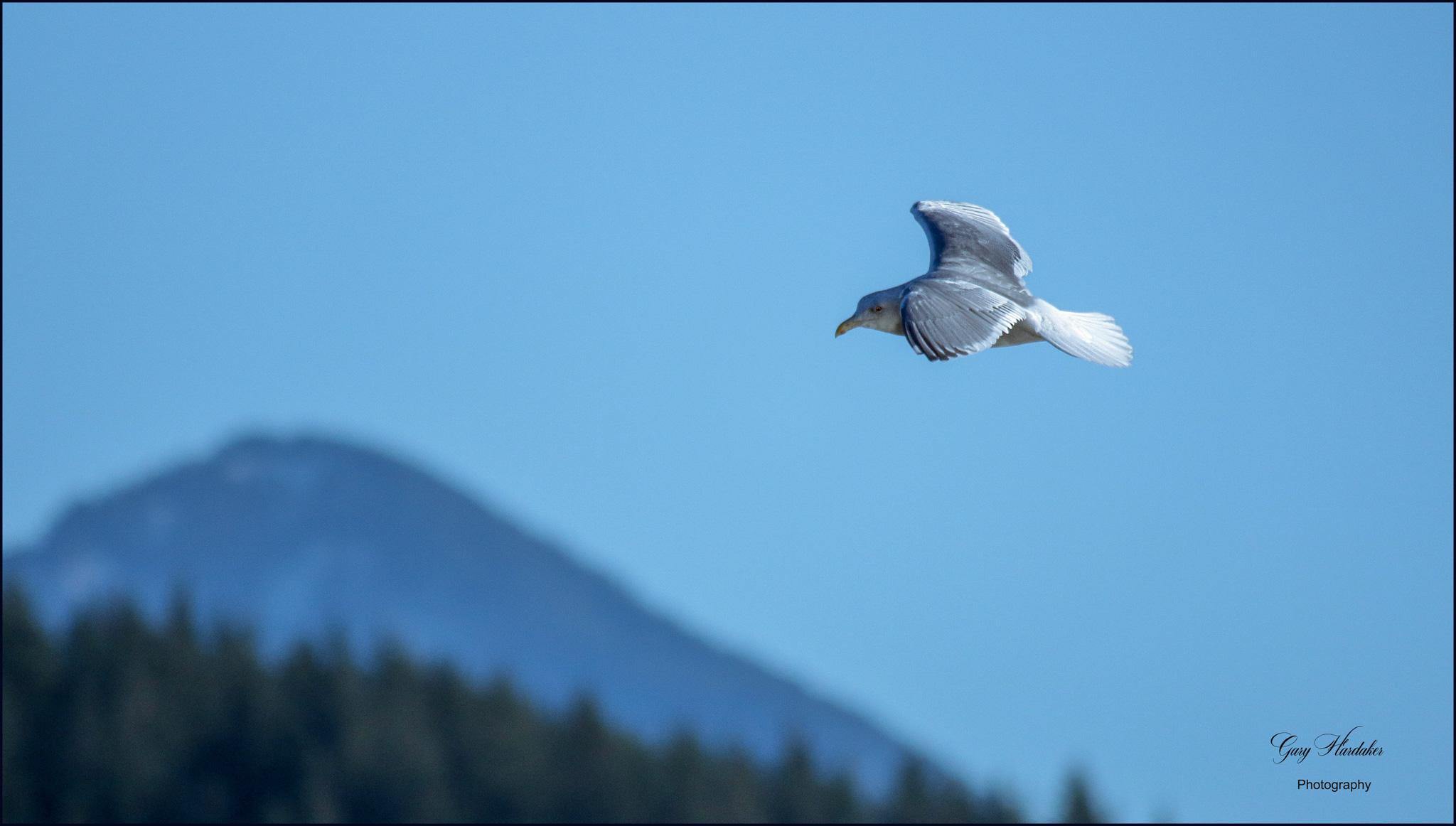 Gary Hardaker-Seagull over Harrison River