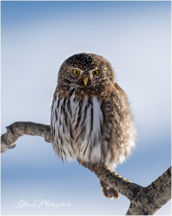 Northern Pygmy-Owl © Gloria Melnychuk ~ Cariboo December 2020