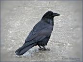 Kevin Haggkvist-Ole Crow