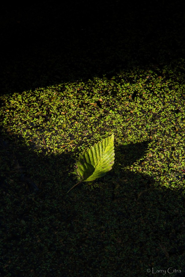 Leaf on Duckweed - A Ray of Sunshine © Larry Citra_