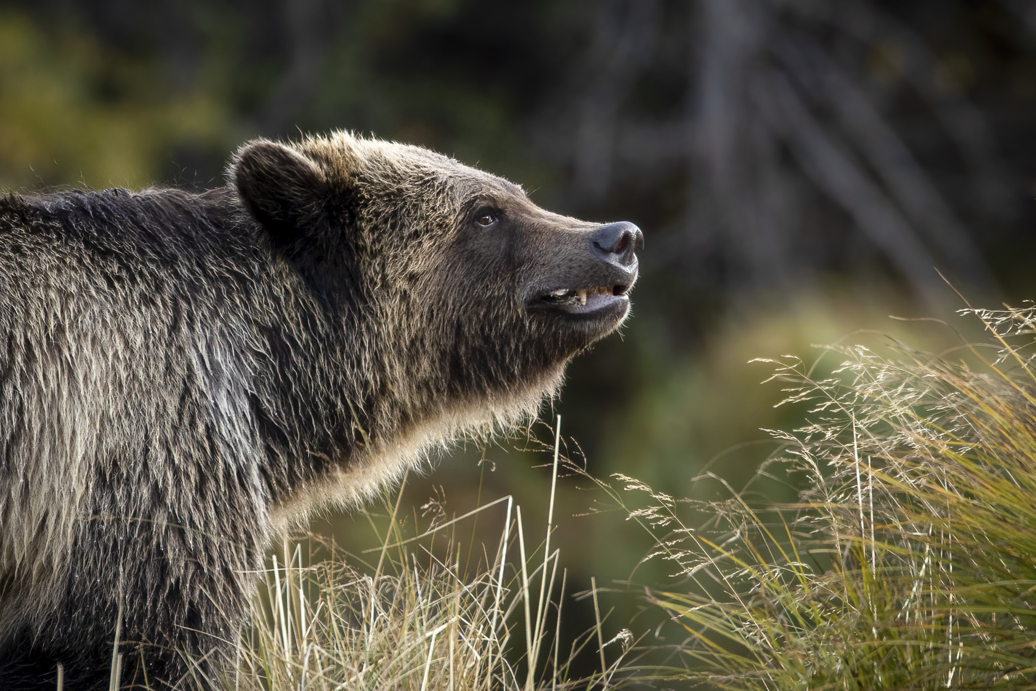 Grinning Grizzly - Donna Marshall