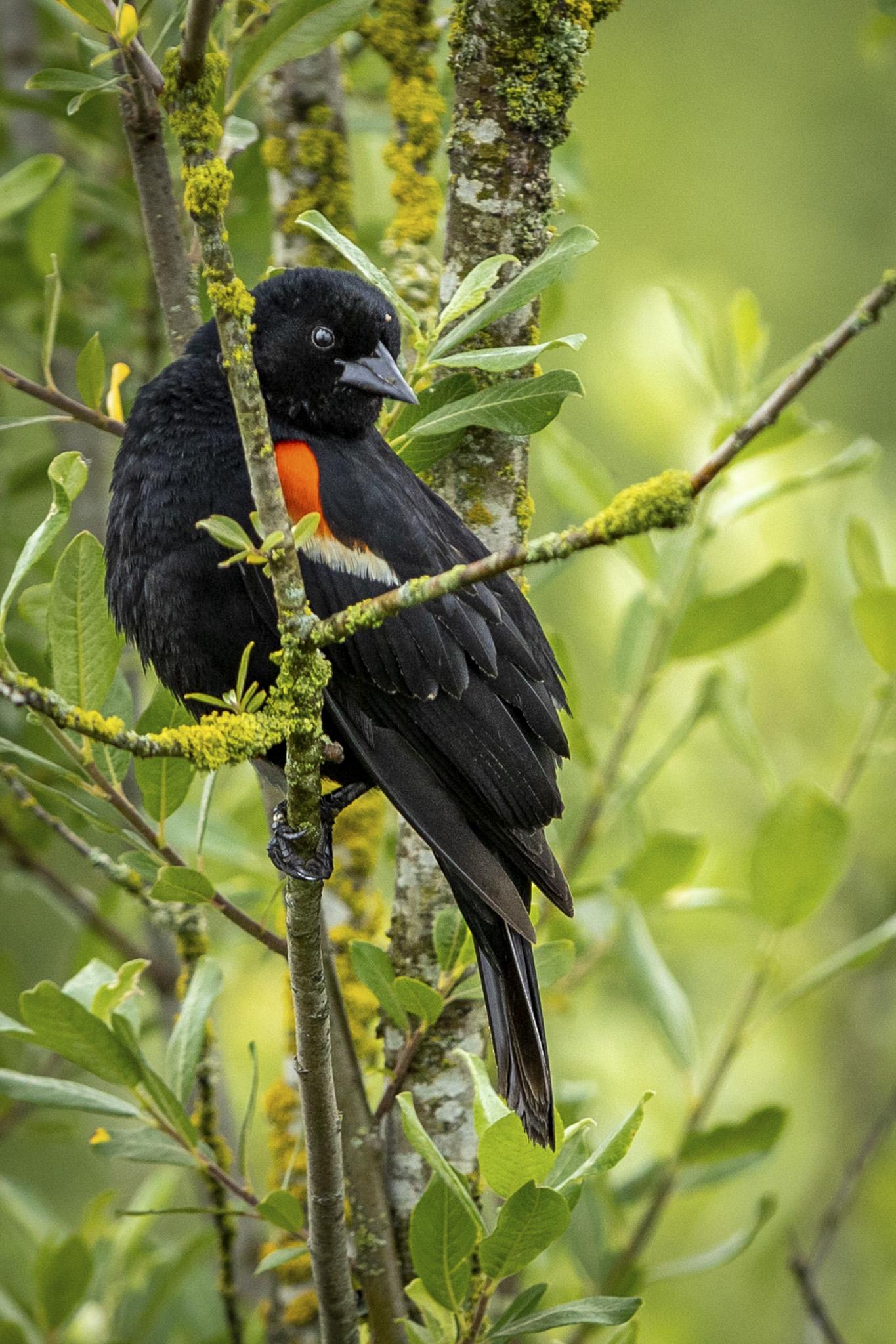 Red Winged Blackbird - Donna Marshall
