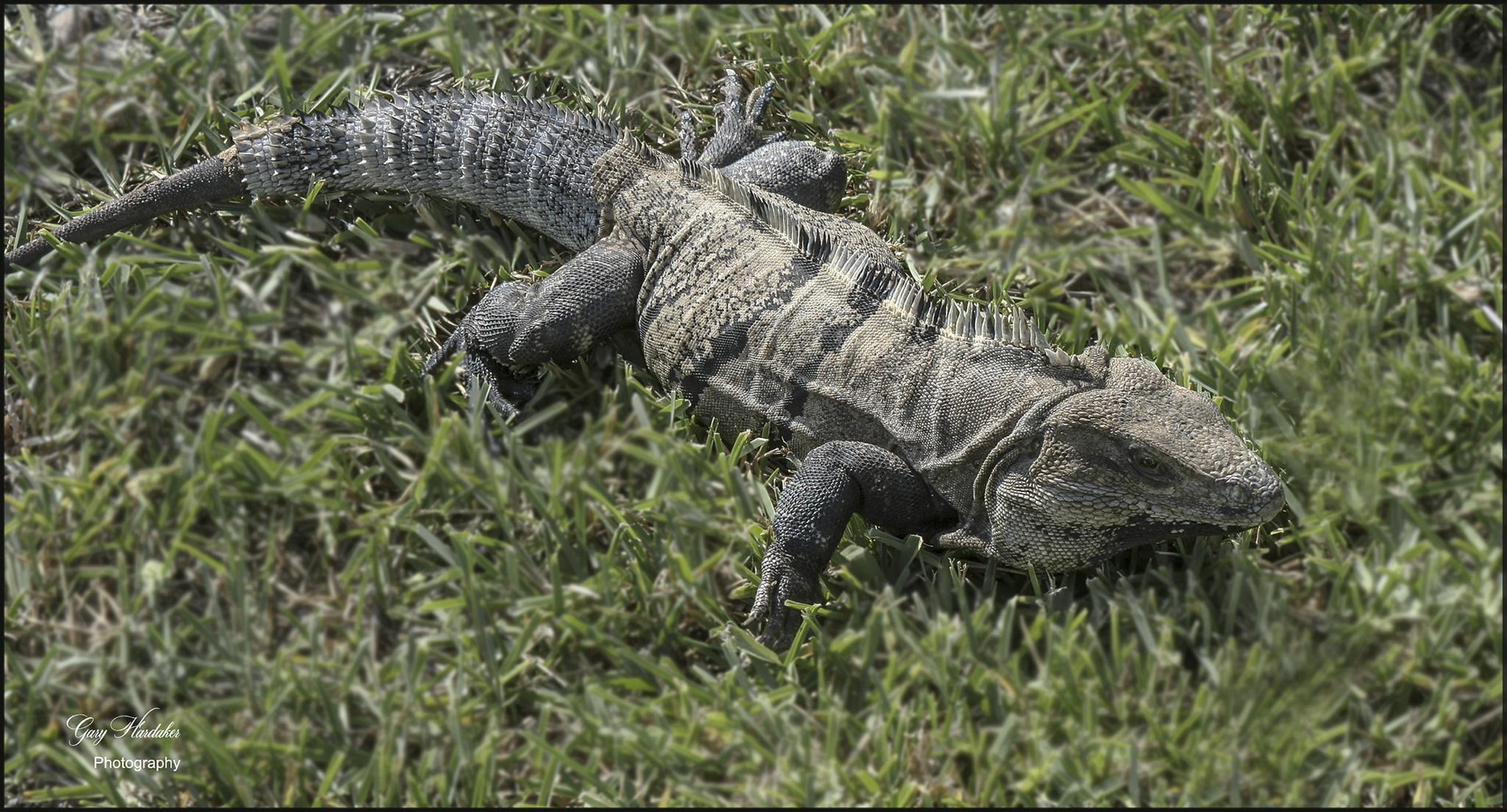 Gary Hardaker-Day of the Iguana- Tulum Mexico