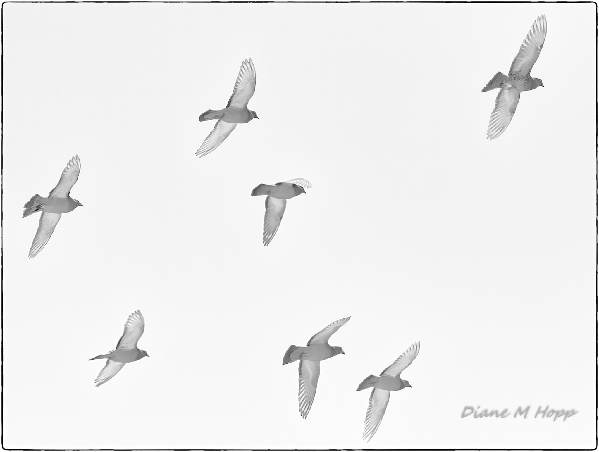 Diane Hopp - Just Pigeons