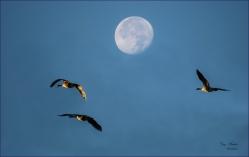 Gary Hardaker- Canada Geese at Dusk