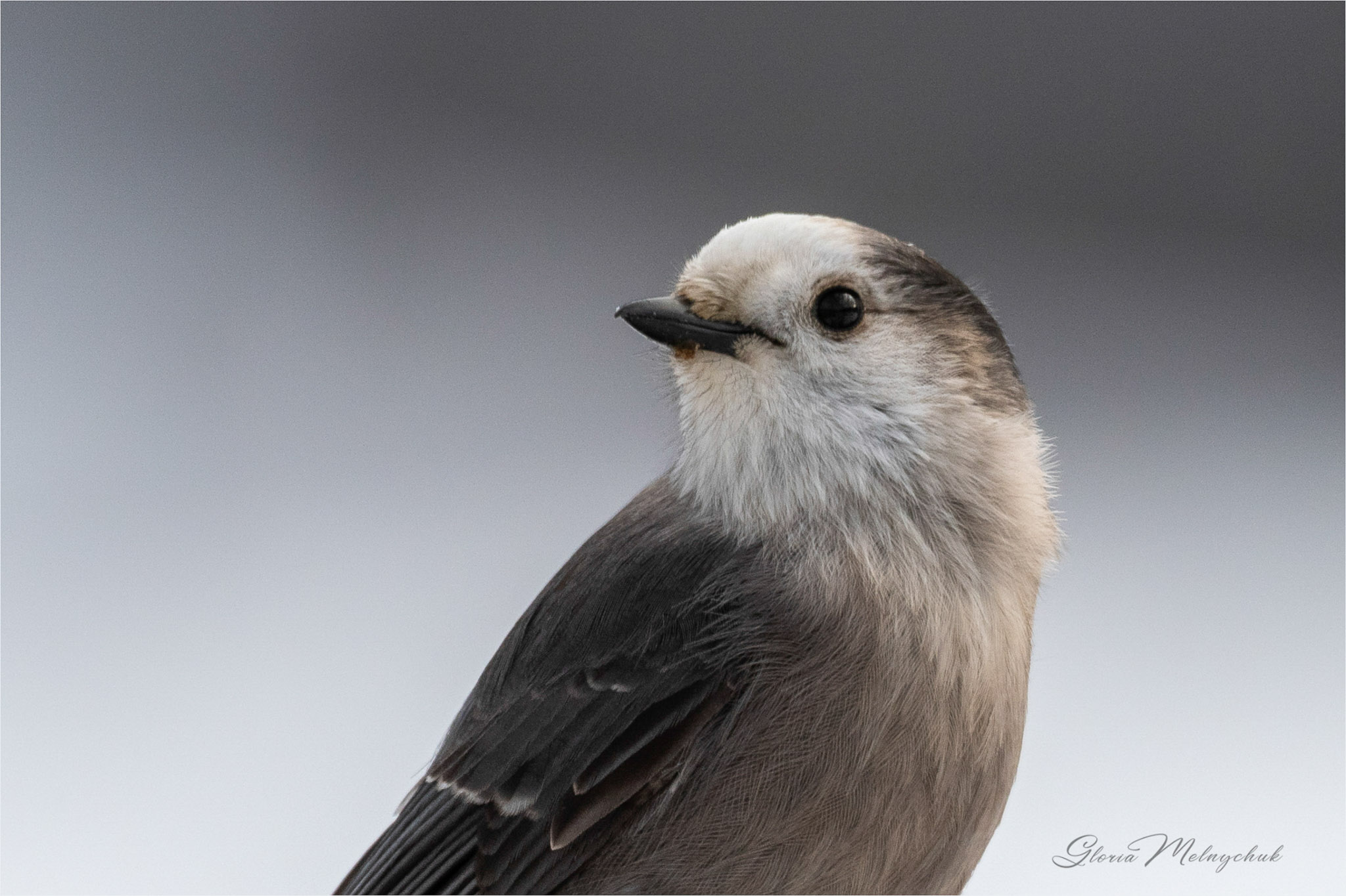 Grey Jay ©Gloria Melnychuk