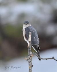 Sharp-shinned Hawk 2 © Bill Melnychuk