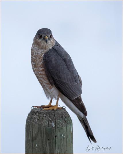 Sharp-shinned Hawk © Bill Melnychuk
