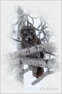 Great Grey Digital Painting 2 ©Bill Melnychuk - Cariboo January 2021