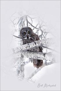 Great Grey Digital Painting ©Bill Melnychuk - Cariboo January 2021