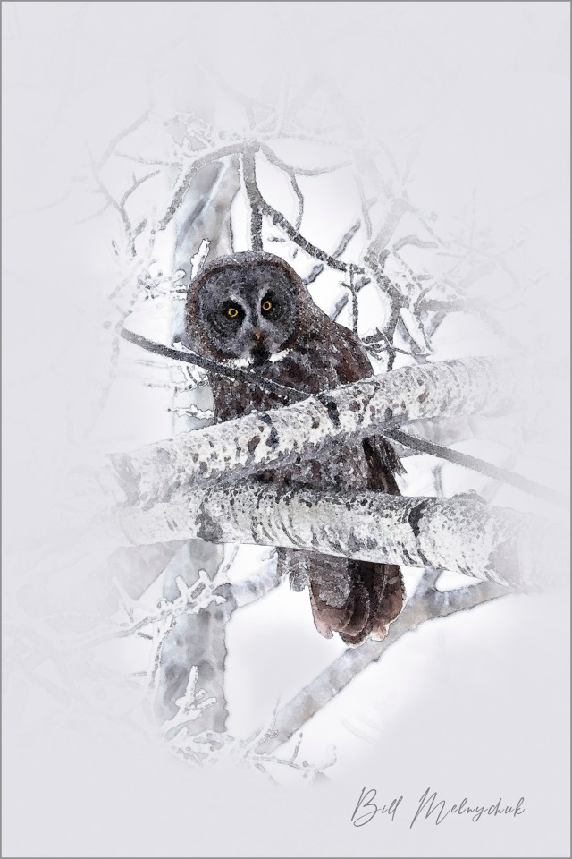 Great Grey Digital Painting ©Bill Melnychuk