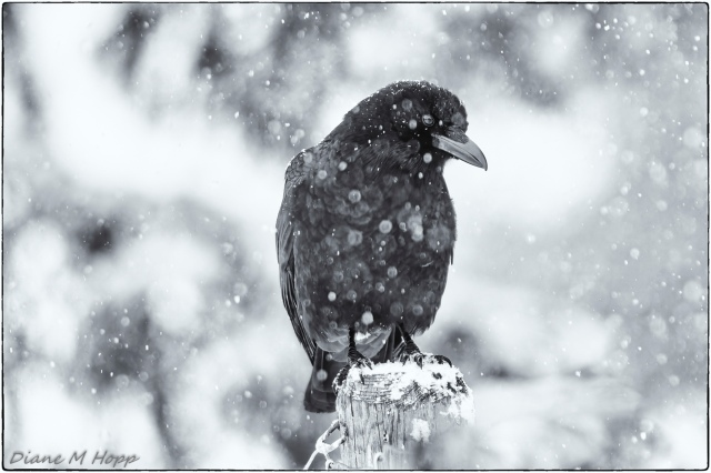 Diane - Crow Contemplating the Weather