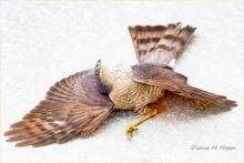 Diane Hopp - Fallen Hawk