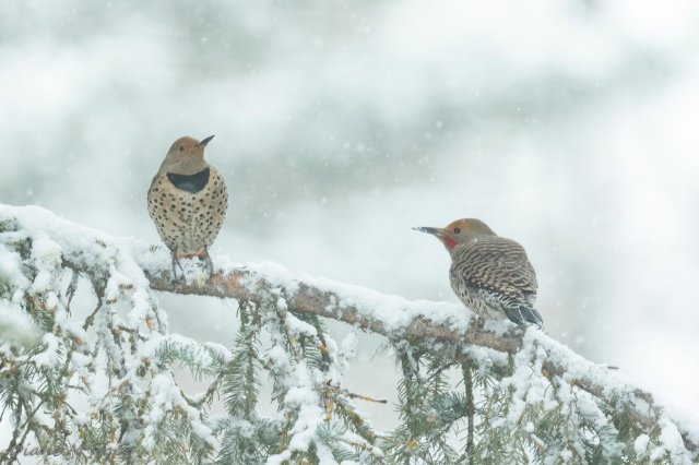 Diane Hopp - A Pair of Northern Flickers in the Snow