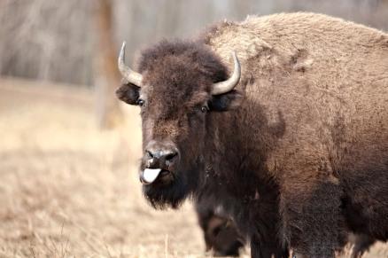 Doug Boyce - Elk Island Buffalo