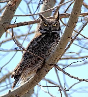 Doug Boyce - Great Horned Owl