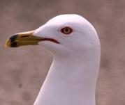 Doug Boyce - Ring Billed Seagull