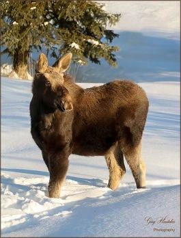 Gary Hardaker- Moose on the loose