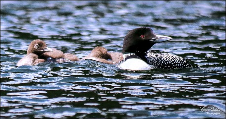 Gary Hardaker- Mother Loon and Chicks 2