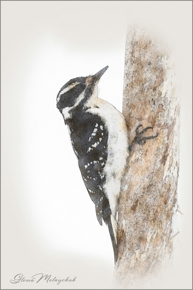 Downy Woodpecker Digital Painting ©Gloria Melnychuk