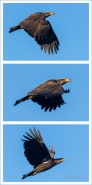 Lift Your Wings ©Gloria Melnychuk ~ Immature Eagle in flight Green Lake April 2020